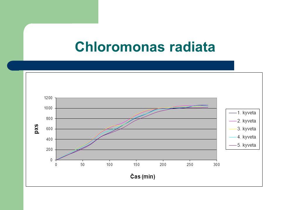 Chloromonas radiata