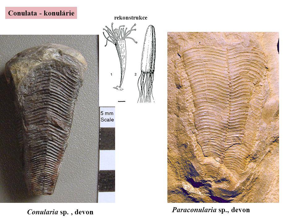 Conulata - konulárie Conularia sp., devon Paraconularia sp., devon rekonstrukce