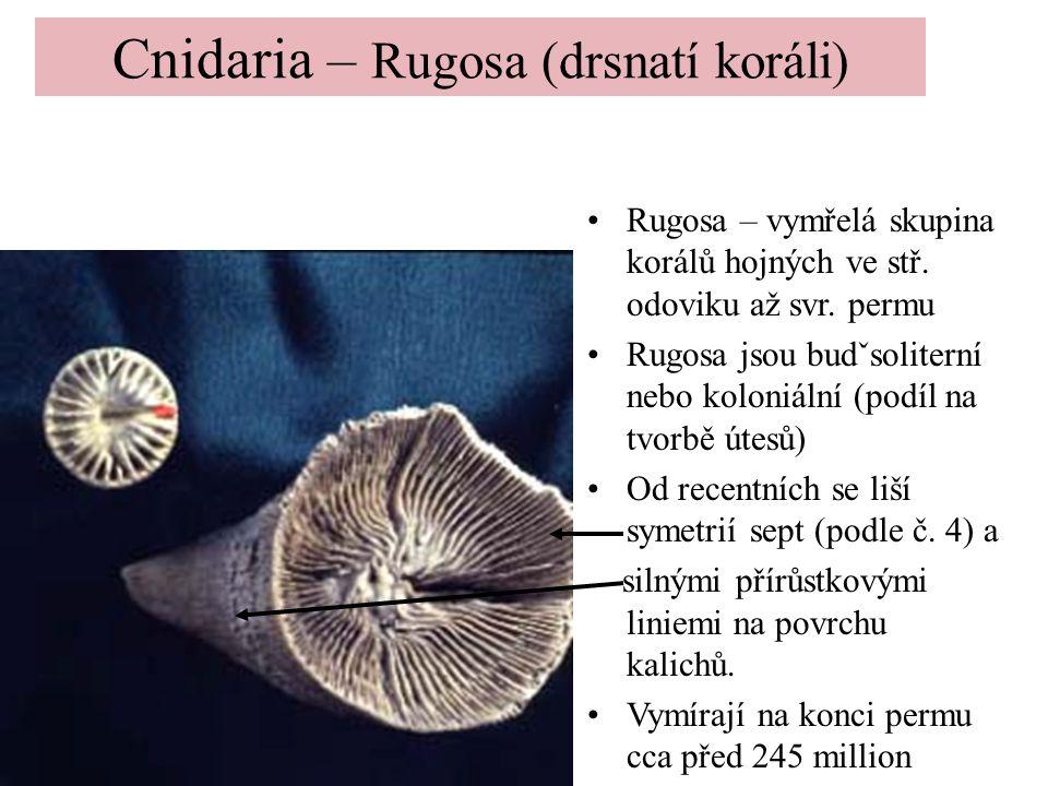 Cnidaria – Rugosa (drsnatí koráli) Rugosa – vymřelá skupina korálů hojných ve stř. odoviku až svr. permu Rugosa jsou budˇsoliterní nebo koloniální (po