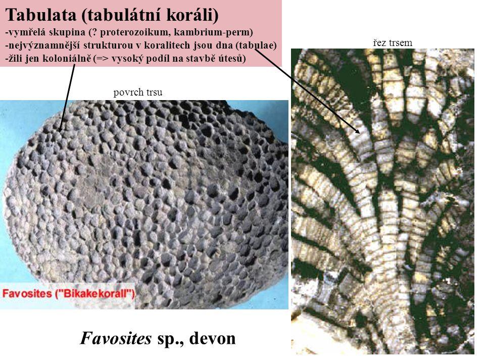 Tabulata (tabulátní koráli) -vymřelá skupina (? proterozoikum, kambrium-perm) -nejvýznamnější strukturou v koralitech jsou dna (tabulae) -žili jen kol