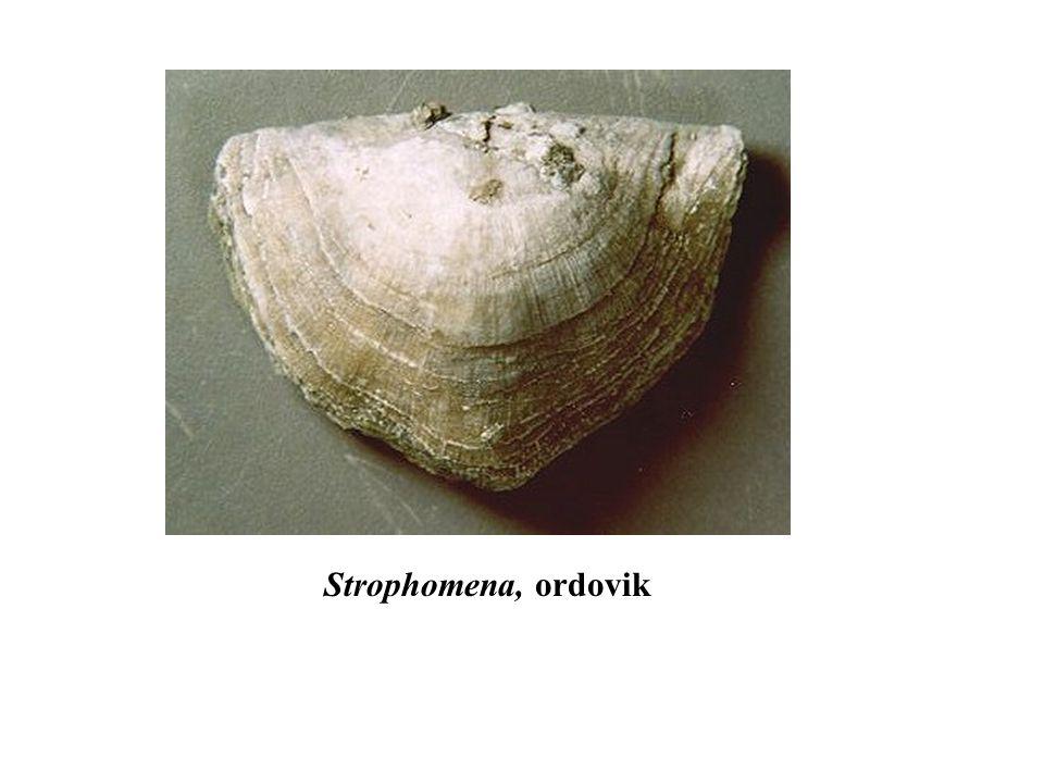 Strophomena, ordovik