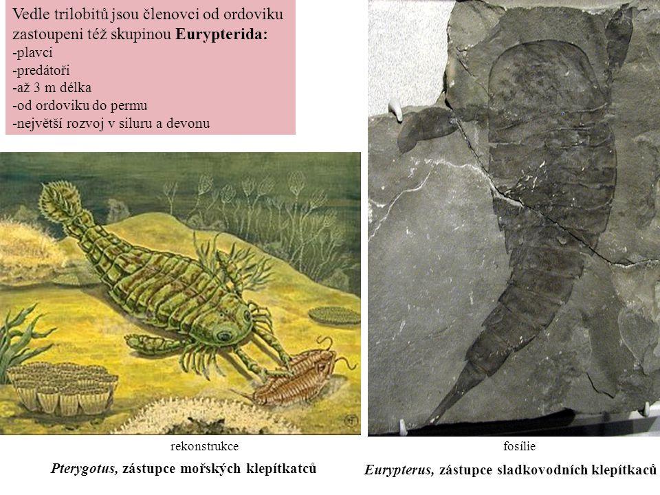Vedle trilobitů jsou členovci od ordoviku zastoupeni též skupinou Eurypterida: -plavci -predátoři -až 3 m délka -od ordoviku do permu -největší rozvoj