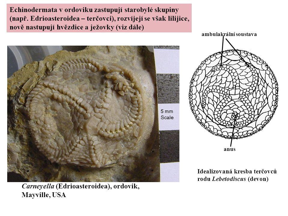 Carneyella (Edrioasteroidea), ordovik, Mayville, USA Idealizovaná kresba terčovců rodu Lebetodiscus (devon) ambulakrální soustava anus Echinodermata v