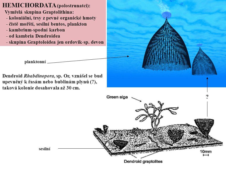 planktonní sesilní Dendroid Rhabdinopora, sp. Or, vznášel se bud upevněný k řasám nebo bublinám plynů (?), taková kolonie dosahovala až 30 cm. HEMICHO