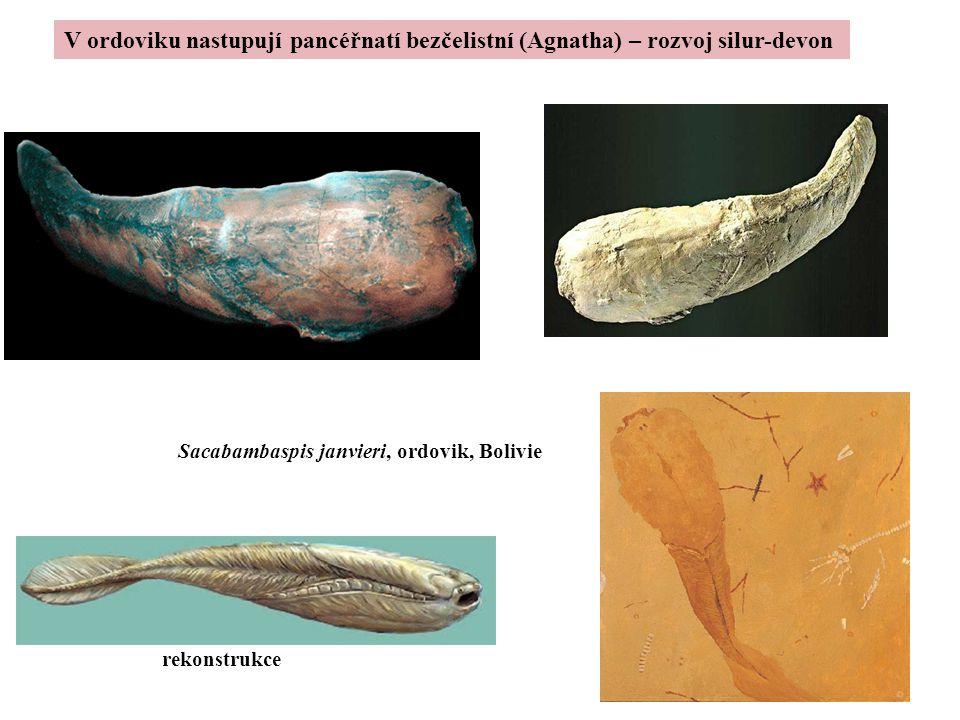 Sacabambaspis janvieri, ordovik, Bolivie rekonstrukce V ordoviku nastupují pancéřnatí bezčelistní (Agnatha) – rozvoj silur-devon
