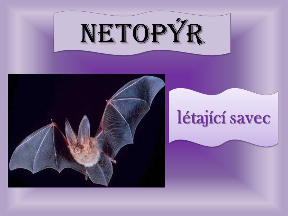 netopýrnetopýr létající savec