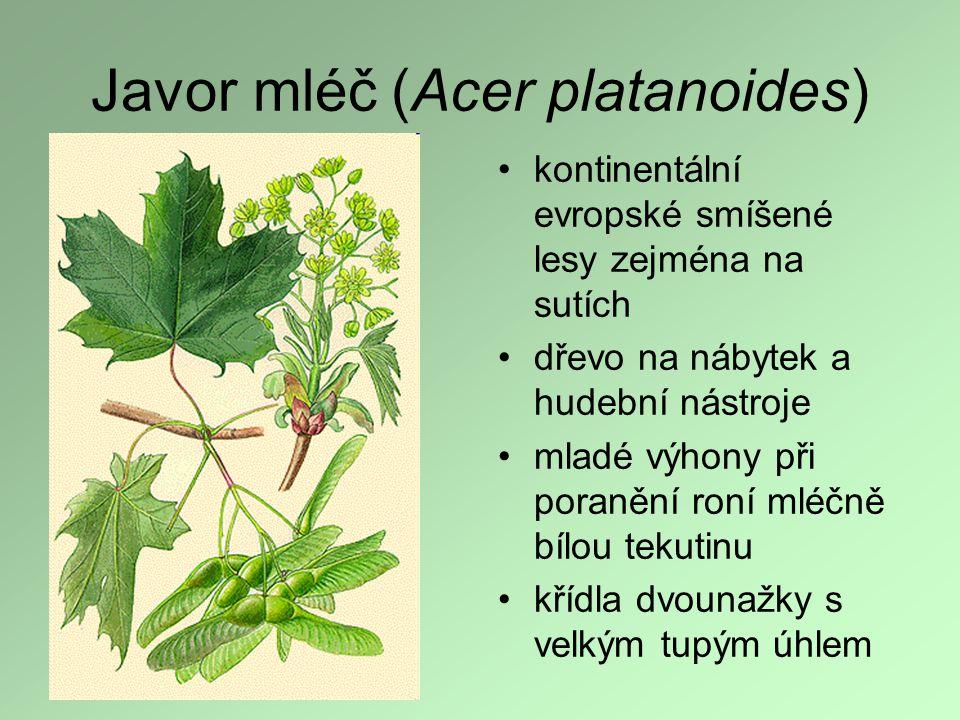 Javor mléč (Acer platanoides) kontinentální evropské smíšené lesy zejména na sutích dřevo na nábytek a hudební nástroje mladé výhony při poranění roní