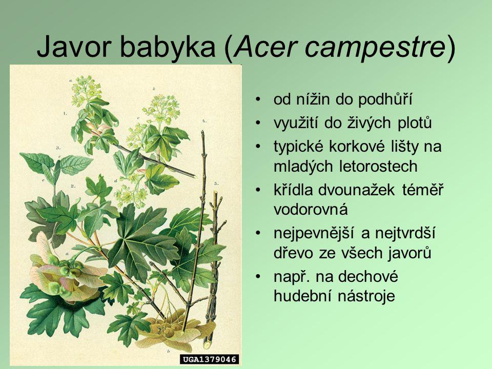 Javor babyka (Acer campestre) od nížin do podhůří využití do živých plotů typické korkové lišty na mladých letorostech křídla dvounažek téměř vodorovn