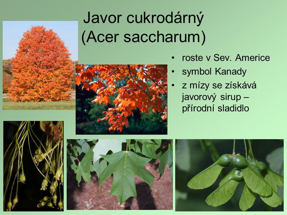 Javor cukrodárný (Acer saccharum) roste v Sev. Americe symbol Kanady z mízy se získává javorový sirup – přírodní sladidlo