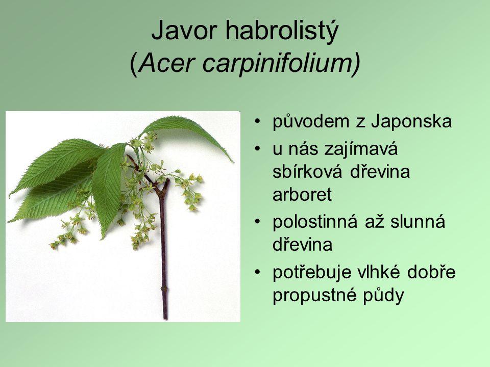 Javor habrolistý (Acer carpinifolium) původem z Japonska u nás zajímavá sbírková dřevina arboret polostinná až slunná dřevina potřebuje vlhké dobře pr