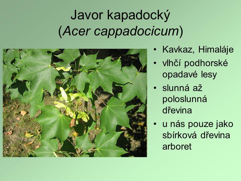 Javor kapadocký (Acer cappadocicum) Kavkaz, Himaláje vlhčí podhorské opadavé lesy slunná až poloslunná dřevina u nás pouze jako sbírková dřevina arbor