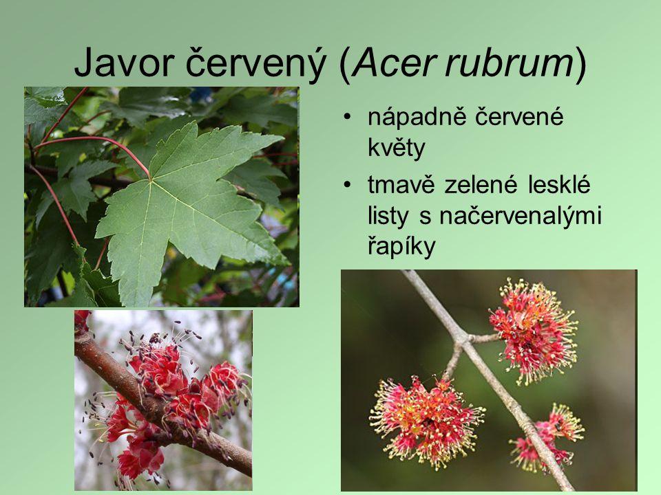 Javor červený (Acer rubrum) nápadně červené květy tmavě zelené lesklé listy s načervenalými řapíky