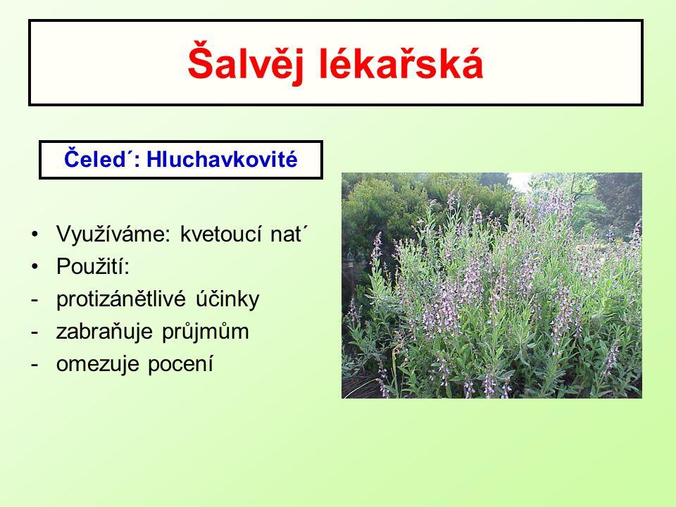 Šalvěj lékařská Využíváme: kvetoucí nat´ Použití: -protizánětlivé účinky -zabraňuje průjmům -omezuje pocení Čeled´: Hluchavkovité