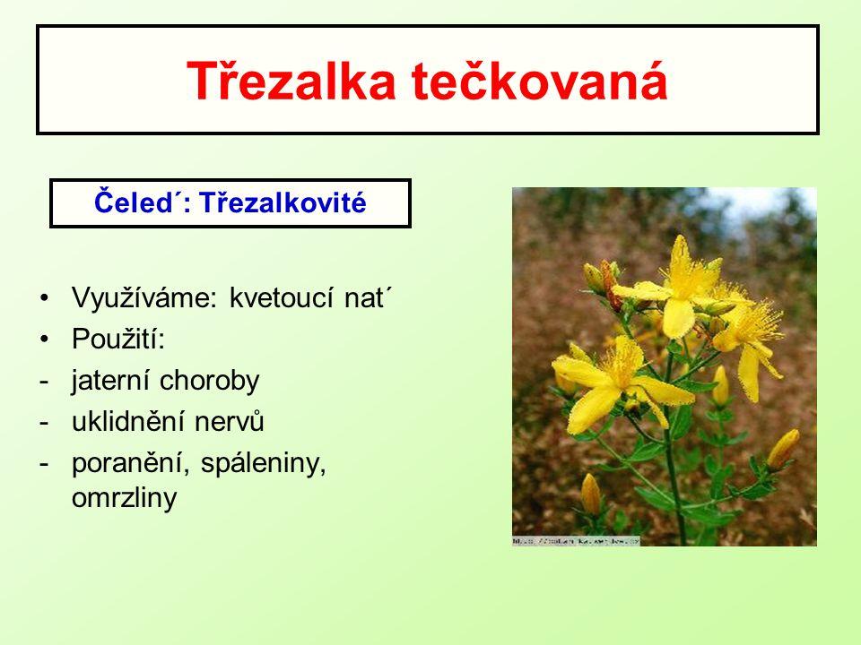 Třezalka tečkovaná Využíváme: kvetoucí nat´ Použití: -jaterní choroby -uklidnění nervů -poranění, spáleniny, omrzliny Čeled´: Třezalkovité