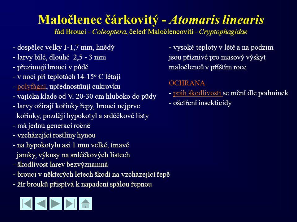 Maločlenec čárkovitý - Atomaris linearis řád Brouci - Coleoptera, čeleď Maločlencovití - Cryptophagidae - dospělec velký 1-1,7 mm, hnědý - larvy bílé,
