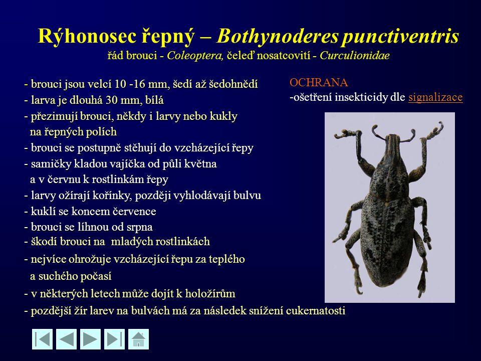 Rýhonosec řepný – Bothynoderes punctiventris řád brouci - Coleoptera, čeleď nosatcovití - Curculionidae - brouci jsou velcí 10 -16 mm, šedí až šedohně