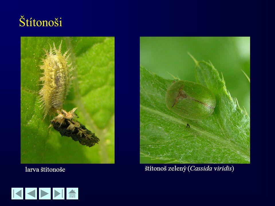 Štítonoši larva štítonoše štítonoš zelený (Cassida viridis)