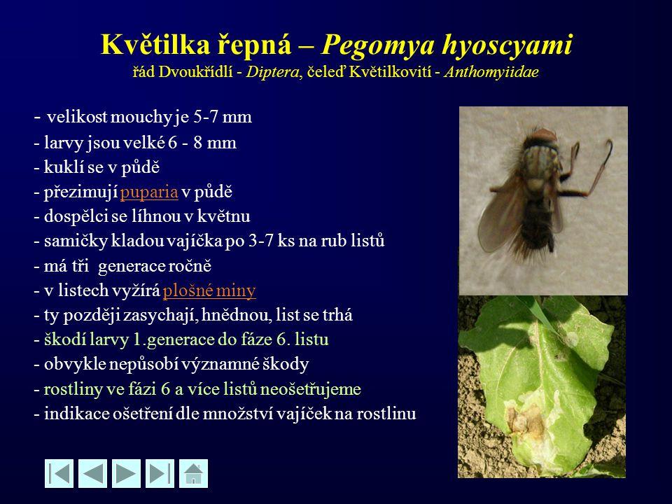 Květilka řepná – Pegomya hyoscyami řád Dvoukřídlí - Diptera, čeleď Květilkovití - Anthomyiidae - velikost mouchy je 5-7 mm - larvy jsou velké 6 - 8 mm