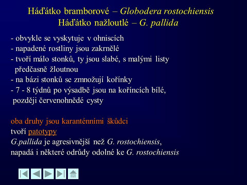 Háďátko bramborové – Globodera rostochiensis Háďátko nažloutlé – G. pallida - obvykle se vyskytuje v ohniscích - napadené rostliny jsou zakrnělé - tvo