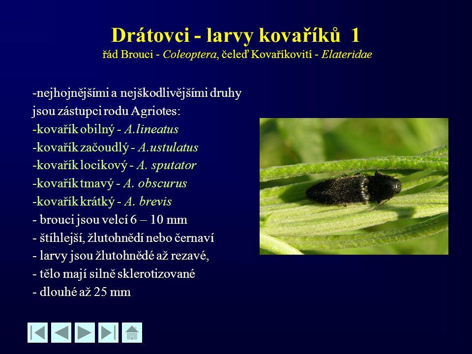 Drátovci - larvy kovaříků 1 řád Brouci - Coleoptera, čeleď Kovaříkovití - Elateridae -nejhojnějšími a nejškodlivějšími druhy jsou zástupci rodu Agriot