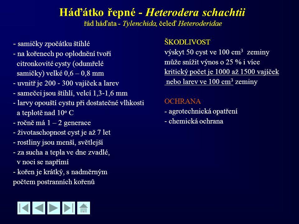 Háďátko řepné - Heterodera schachtii řád háďata - Tylenchida, čeleď Heteroderidae - - samičky zpočátku štíhlé - na kořenech po oplodnění tvoří citronk