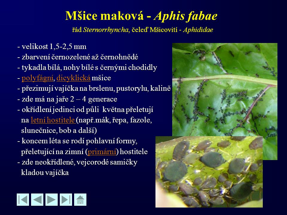 Mšice maková - Aphis fabae řád Sternorrhyncha, čeleď Mšicovití - Aphididae - velikost 1,5-2,5 mm - zbarvení černozelené až černohnědé - tykadla bílá,