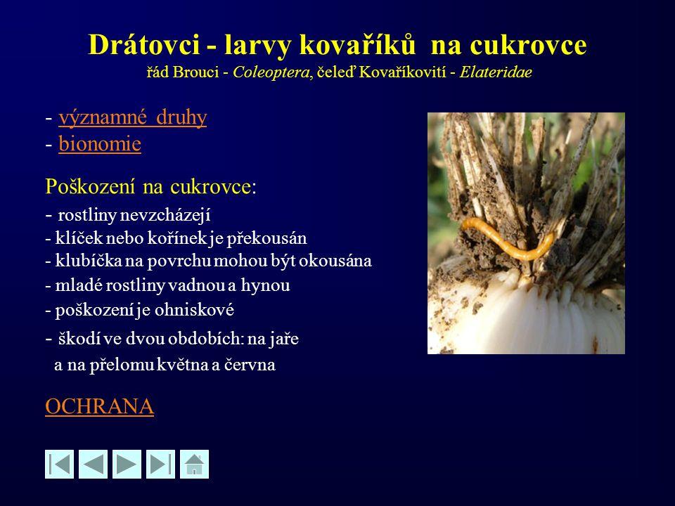 Drátovci - larvy kovaříků na cukrovce řád Brouci - Coleoptera, čeleď Kovaříkovití - Elateridae - významné druhyvýznamné druhy - bionomiebionomie Poško