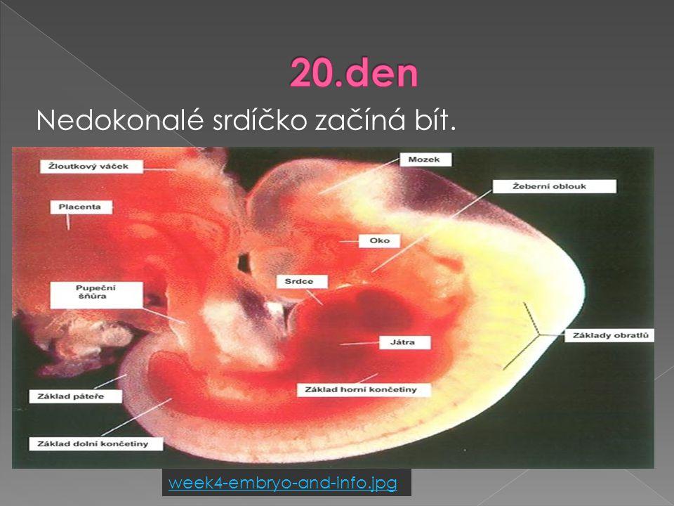  tvoří se srdce  vyvíjí se oči  tvoří se základ mozku  zárodek je velký asi 2 mm 3. týden