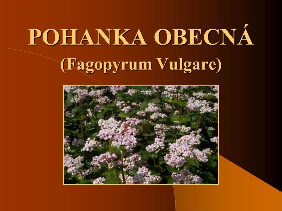 POHANKA OBECNÁ (Fagopyrum Vulgare)