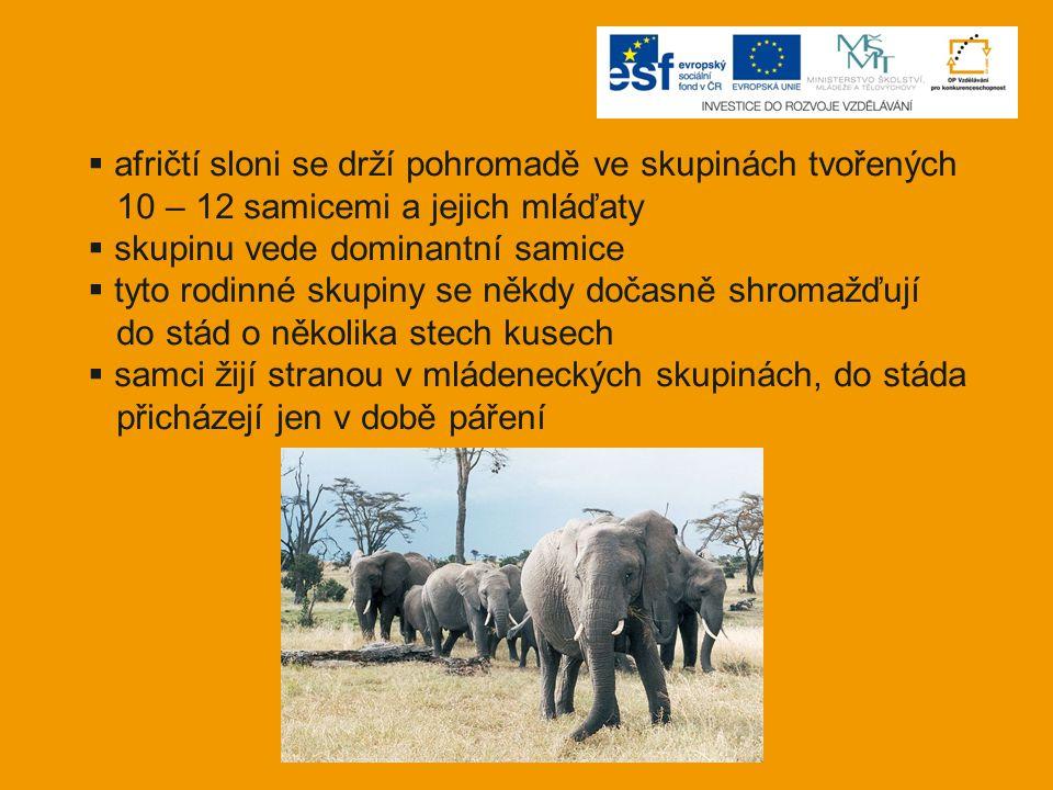  afričtí sloni se drží pohromadě ve skupinách tvořených 10 – 12 samicemi a jejich mláďaty  skupinu vede dominantní samice  tyto rodinné skupiny se