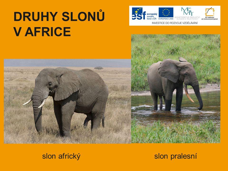 DRUHY SLONŮ V AFRICE slon africkýslon pralesní