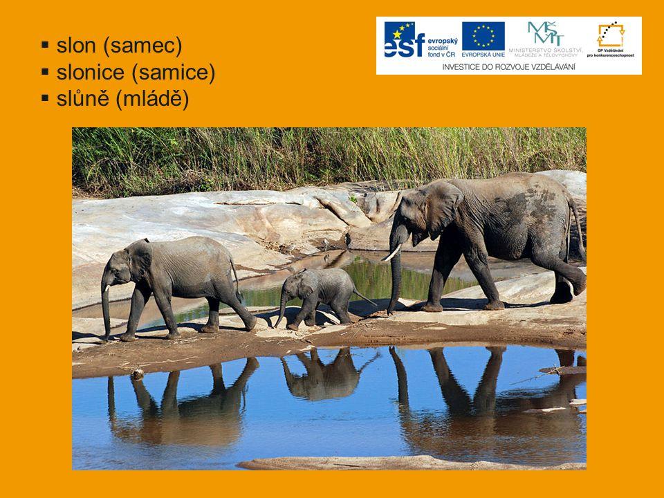  slon (samec)  slonice (samice)  slůně (mládě)