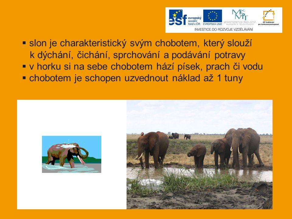  slon je charakteristický svým chobotem, který slouží k dýchání, čichání, sprchování a podávání potravy  v horku si na sebe chobotem hází písek, pra