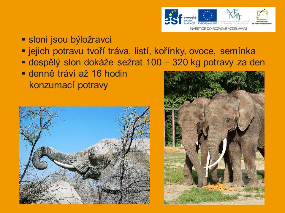  sloni jsou býložravci  jejich potravu tvoří tráva, listí, kořínky, ovoce, semínka  dospělý slon dokáže sežrat 100 – 320 kg potravy za den  denně