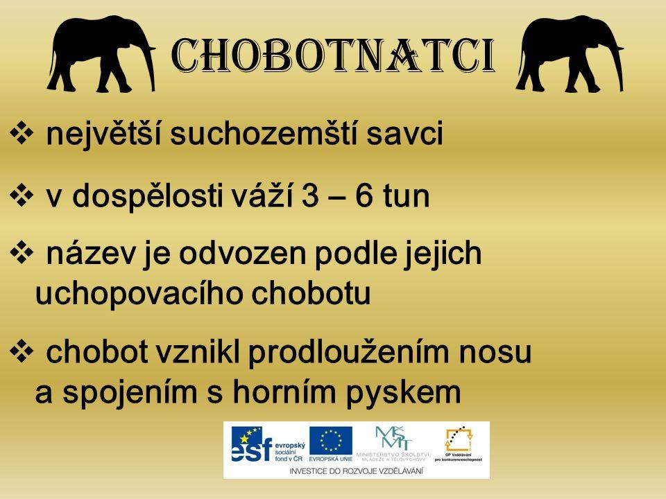 Chobotnatci  největší suchozemští savci  v dospělosti váží 3 – 6 tun  název je odvozen podle jejich uchopovacího chobotu  chobot vznikl prodloužením nosu a spojením s horním pyskem
