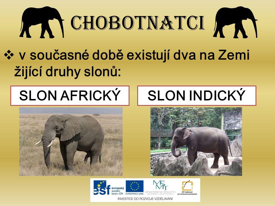 Chobotnatci  v současné době existují dva na Zemi žijící druhy slonů: SLON AFRICKÝSLON INDICKÝ