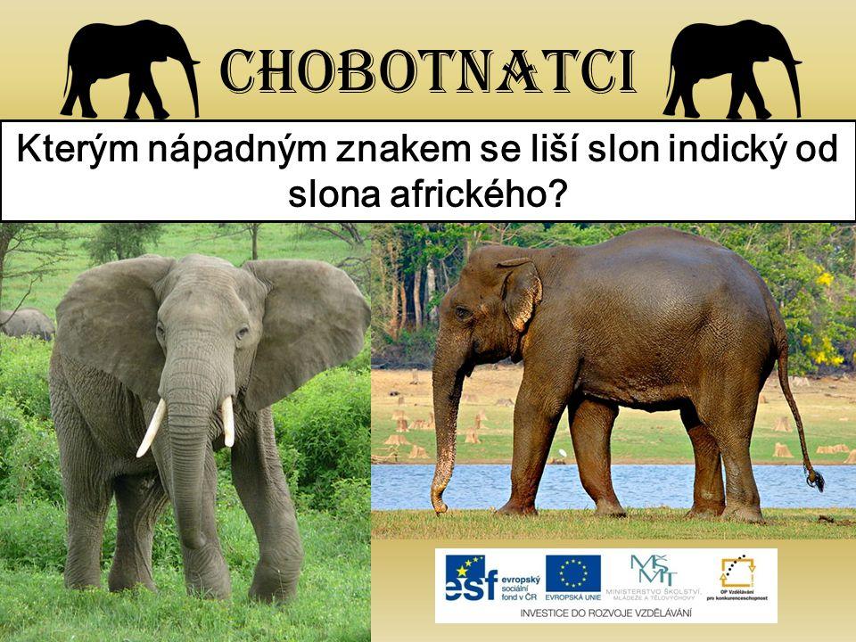 Chobotnatci Kterým nápadným znakem se liší slon indický od slona afrického?