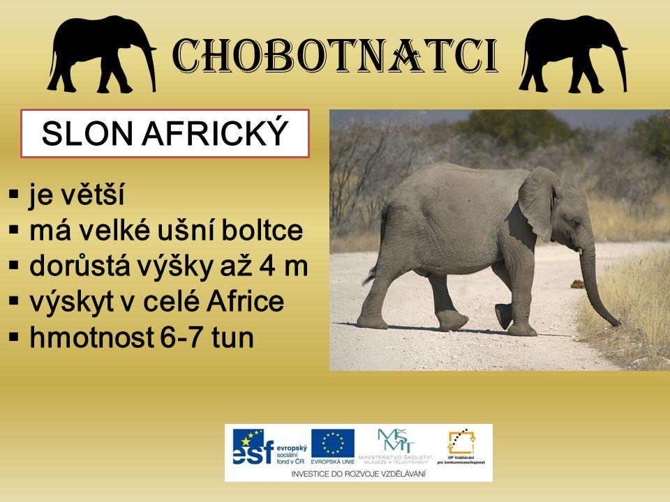 Chobotnatci  je větší  má velké ušní boltce  dorůstá výšky až 4 m  výskyt v celé Africe  hmotnost 6-7 tun SLON AFRICKÝ