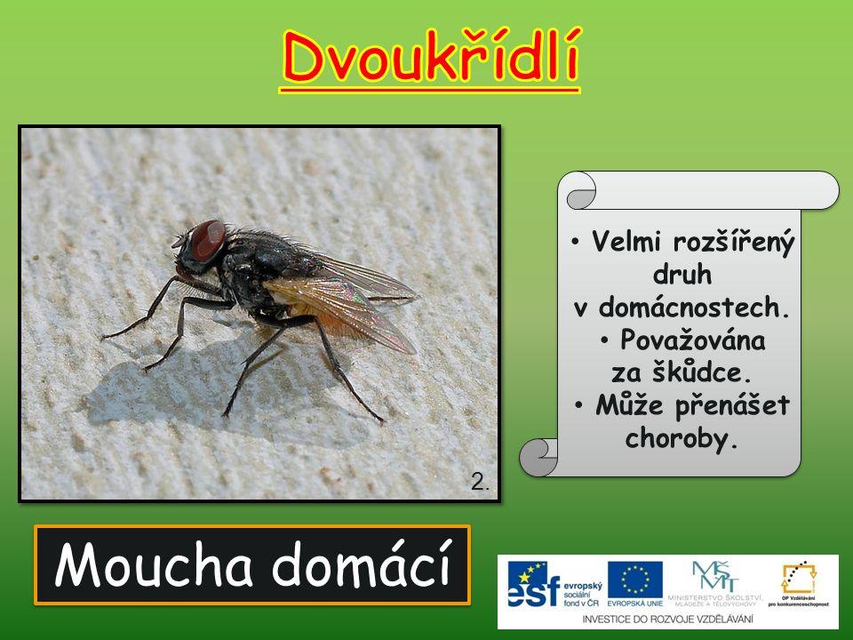 Moucha domácí Velmi rozšířený druh v domácnostech. Považována za škůdce. Může přenášet choroby. 2.