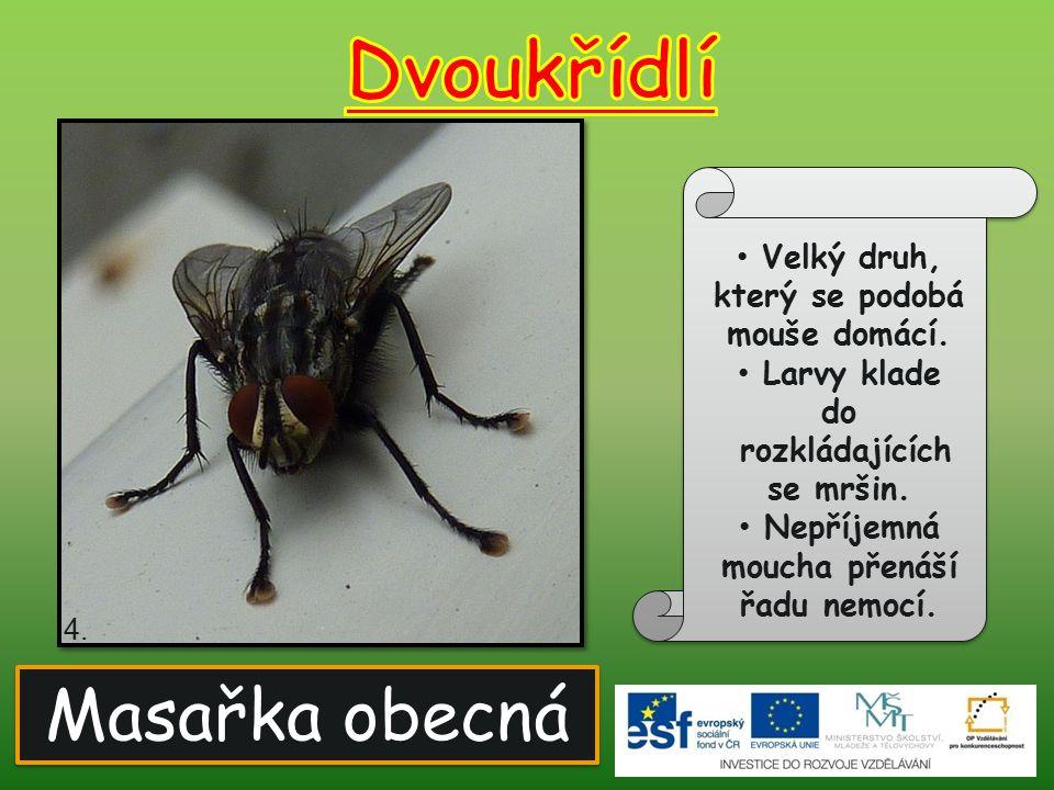 Bzučivka obecná Kovově zbarvený druh.Za letu vydává silný bzučivý zvuk.