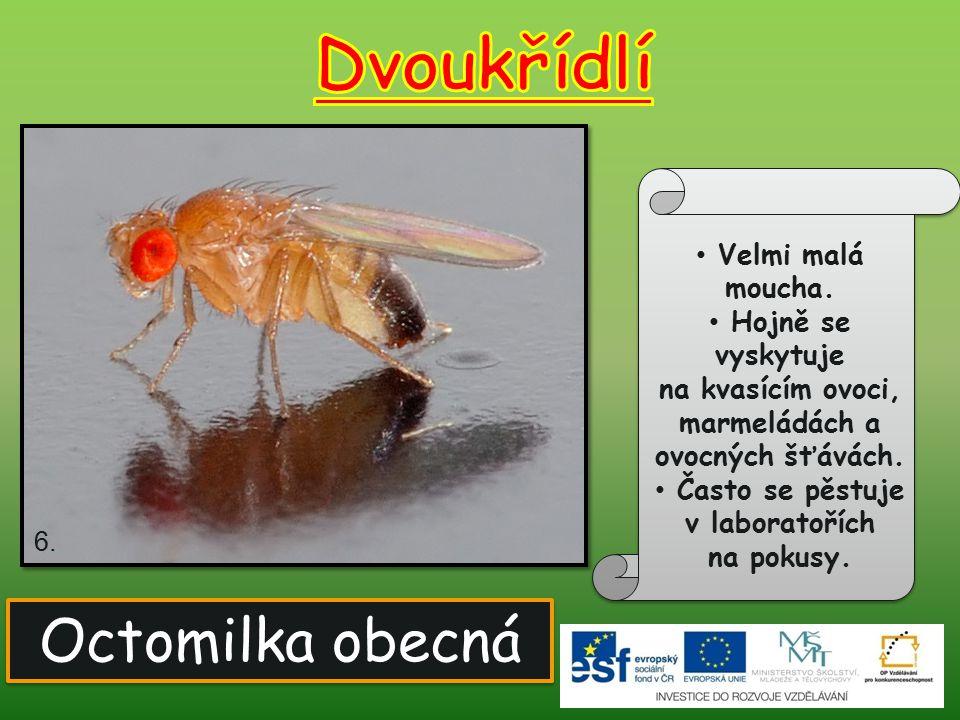 Velmi nepříjemný hmyz. Samičky sají krev. Samci sají nektar. Larvy žijí ve vodě. 7. Komár písklavý