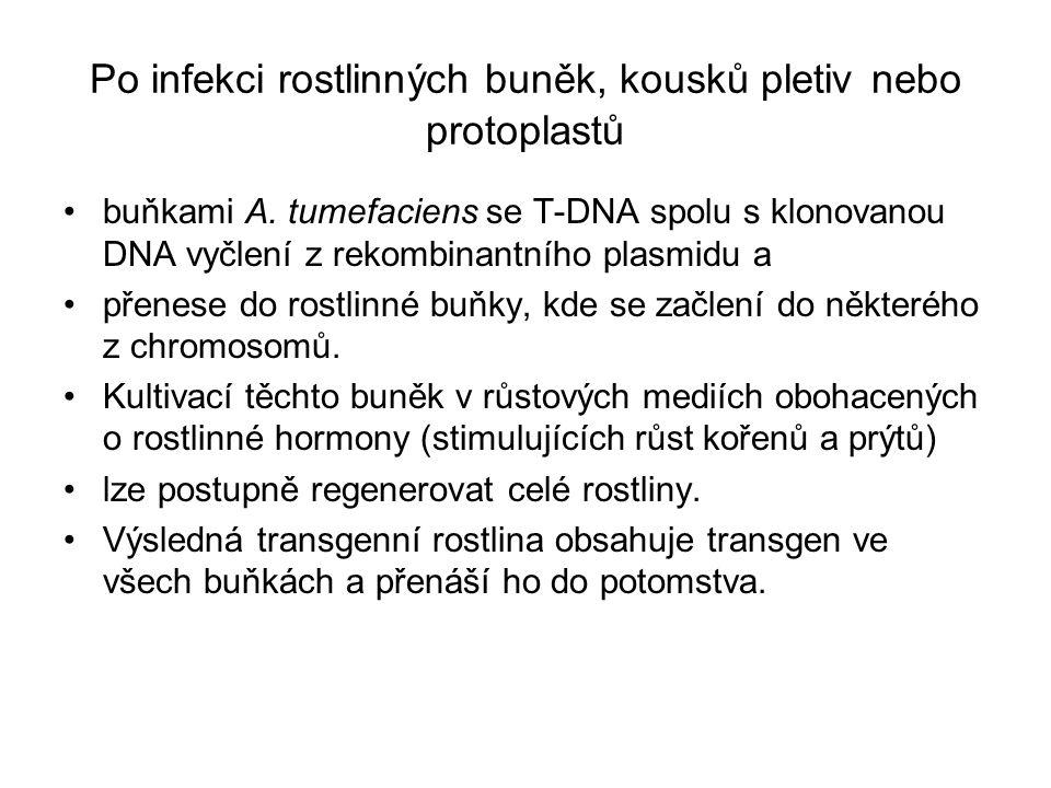 Po infekci rostlinných buněk, kousků pletiv nebo protoplastů buňkami A.
