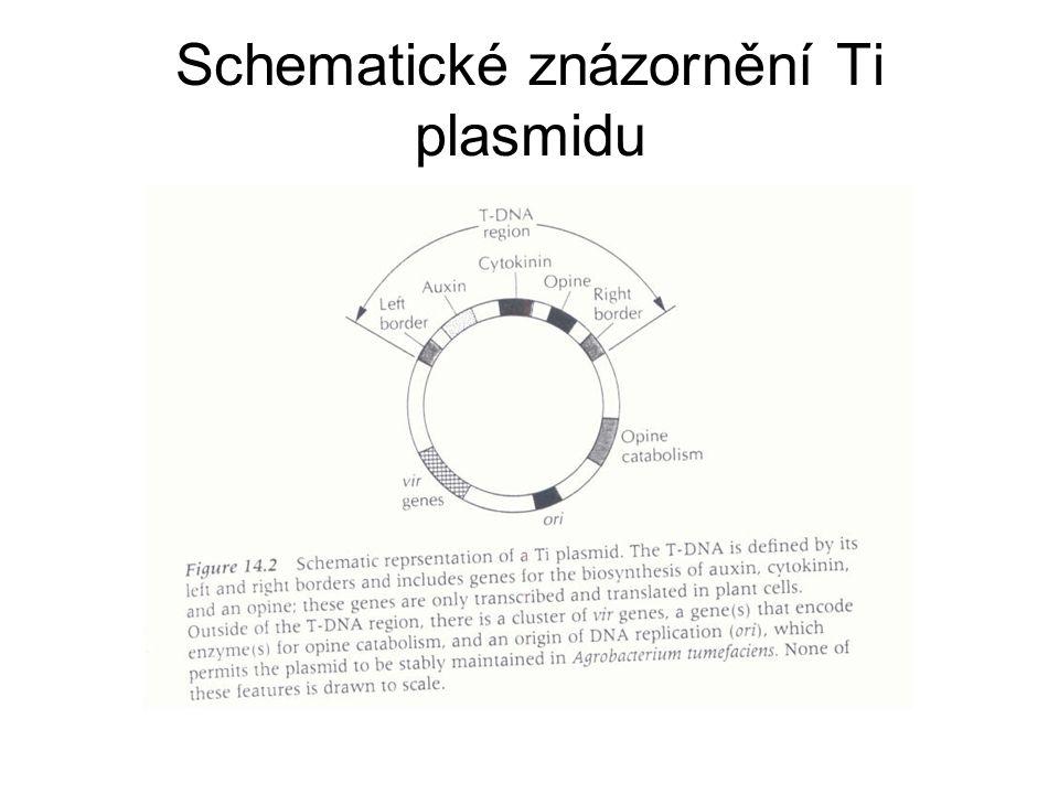 Schematické znázornění Ti plasmidu