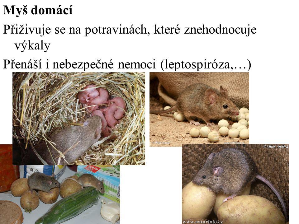 Myš domácí Přiživuje se na potravinách, které znehodnocuje výkaly Přenáší i nebezpečné nemoci (leptospiróza,…)