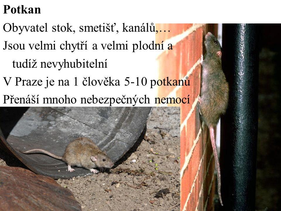 Potkan Obyvatel stok, smetišť, kanálů,… Jsou velmi chytří a velmi plodní a tudíž nevyhubitelní V Praze je na 1 člověka 5-10 potkanů Přenáší mnoho nebe