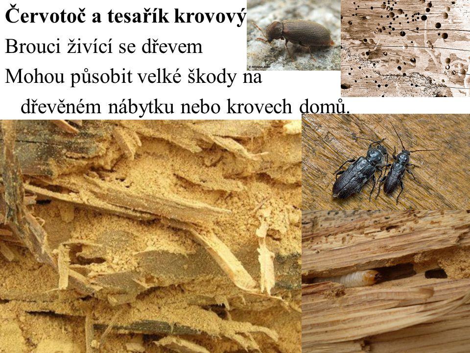 Červotoč a tesařík krovový Brouci živící se dřevem Mohou působit velké škody na dřevěném nábytku nebo krovech domů.