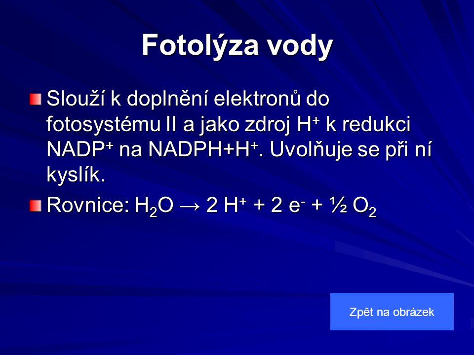 Fotolýza vody Slouží k doplnění elektronů do fotosystému II a jako zdroj H + k redukci NADP + na NADPH+H +.