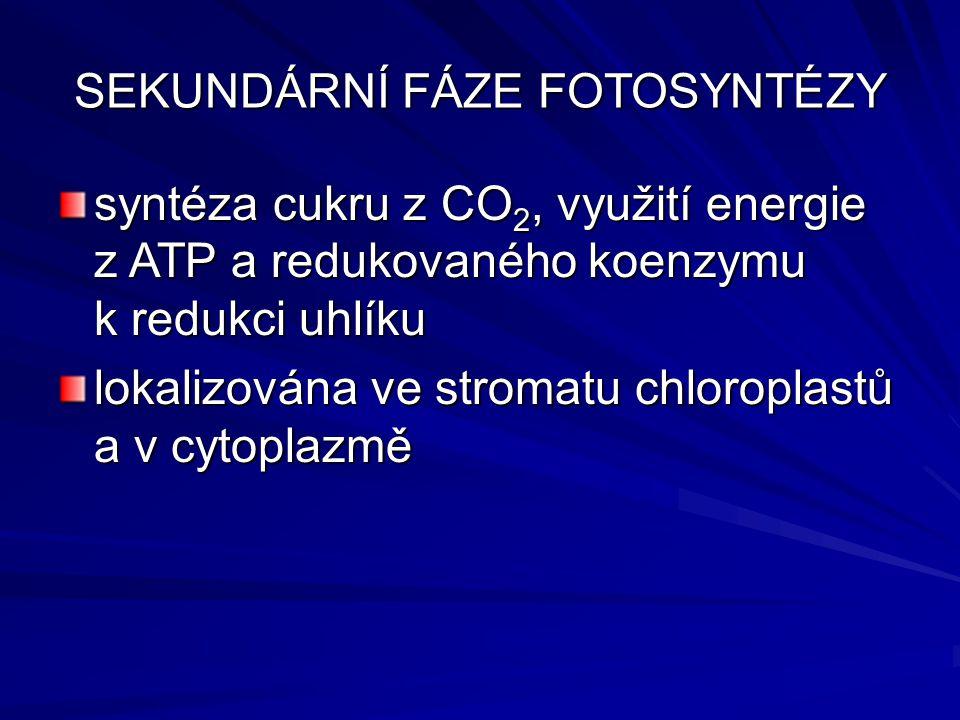 SEKUNDÁRNÍ FÁZE FOTOSYNTÉZY syntéza cukru z CO 2, využití energie z ATP a redukovaného koenzymu k redukci uhlíku lokalizována ve stromatu chloroplastů a v cytoplazmě