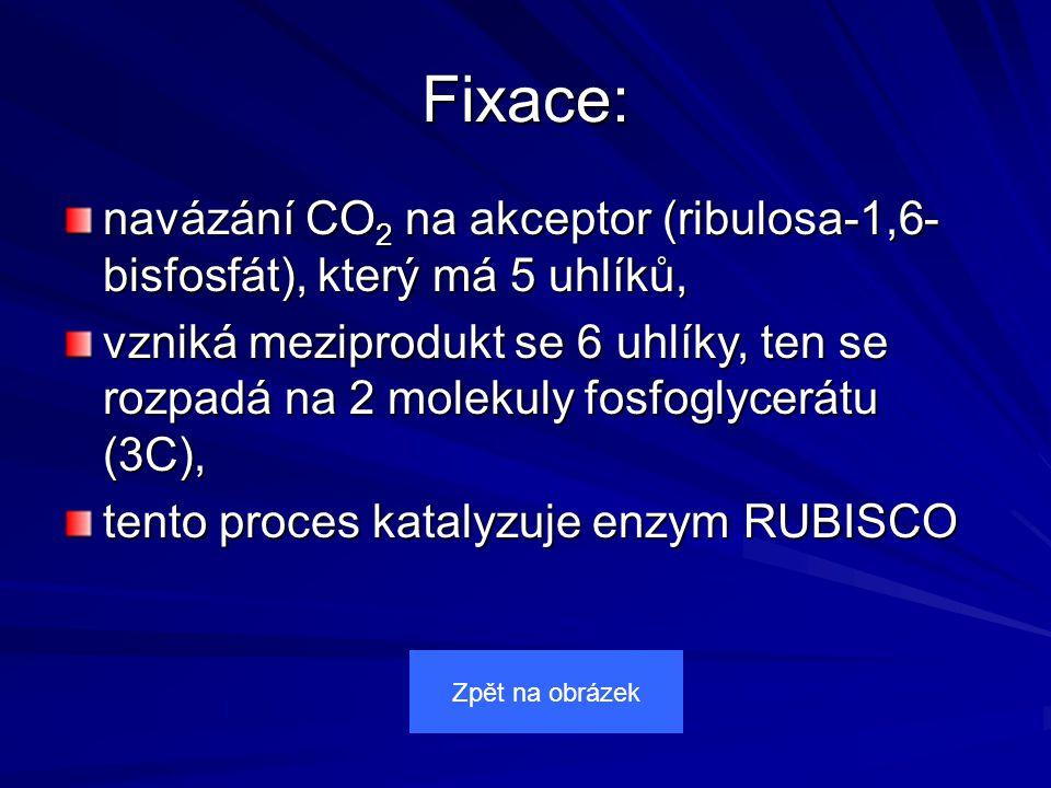 Fixace: navázání CO 2 na akceptor (ribulosa-1,6- bisfosfát), který má 5 uhlíků, vzniká meziprodukt se 6 uhlíky, ten se rozpadá na 2 molekuly fosfoglycerátu (3C), tento proces katalyzuje enzym RUBISCO Zpět na obrázek