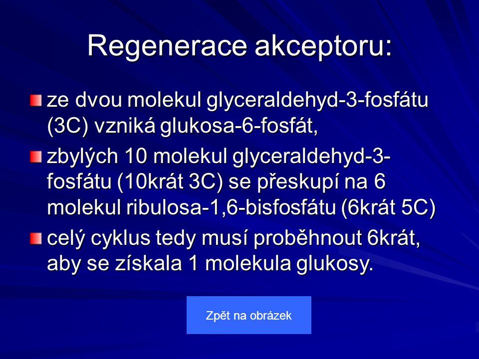 Regenerace akceptoru: ze dvou molekul glyceraldehyd-3-fosfátu (3C) vzniká glukosa-6-fosfát, zbylých 10 molekul glyceraldehyd-3- fosfátu (10krát 3C) se přeskupí na 6 molekul ribulosa-1,6-bisfosfátu (6krát 5C) celý cyklus tedy musí proběhnout 6krát, aby se získala 1 molekula glukosy.